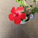 我が家のハイビスカス🌺今年の第一弾が咲きました。